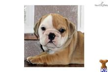 bulldog puppy posted by elsarose