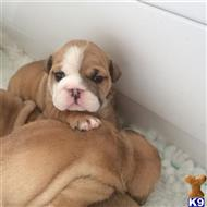 bulldog puppy posted by etan
