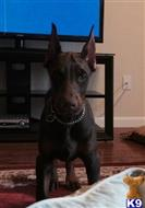doberman pinscher puppy posted by eurodoby
