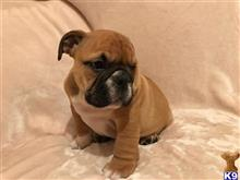 english bulldog puppy posted by evahans