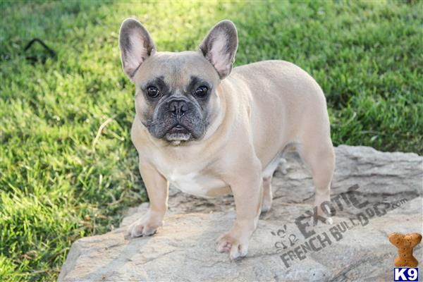 exoticfrenchies Picture 1