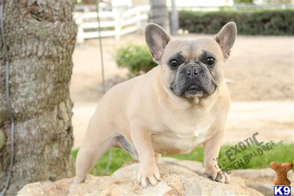 exoticfrenchies Picture 2