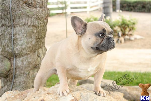 exoticfrenchies Picture 3