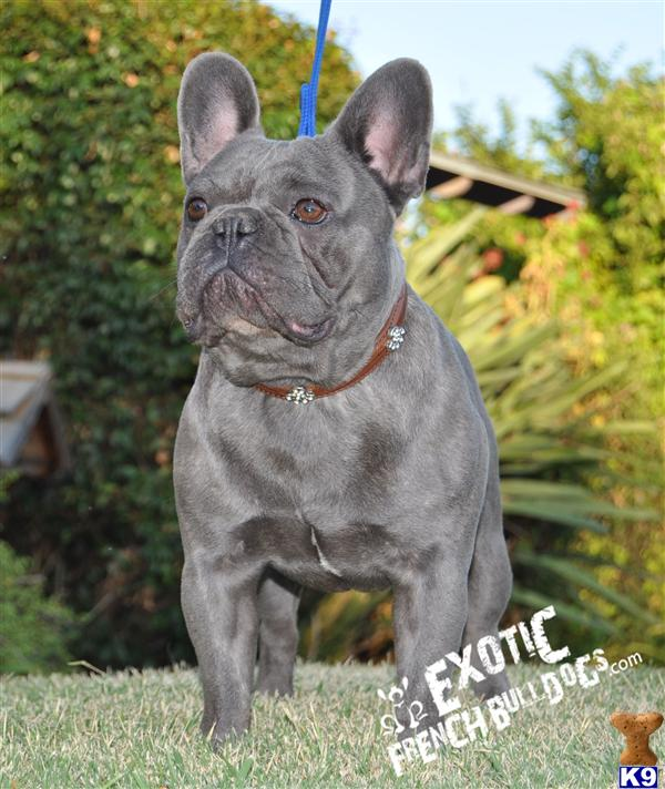 French Bulldog Puppy For Sale Rare Blues 4 Years Old