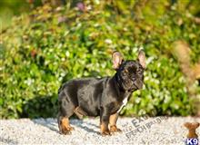 french bulldog puppy posted by exoticfrenchies