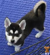 siberian husky puppy posted by ezumezu1