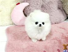 pomeranian puppy posted by fabioladamss