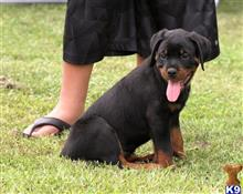 rottweiler puppy posted by faitheli7777