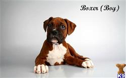boxer puppy posted by fancypuppystore