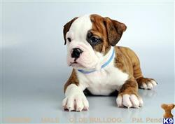 Old English Bulldog Puppies For Sale In California