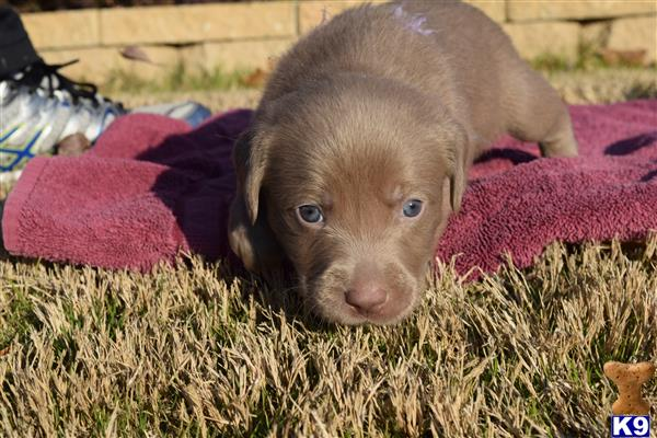 labrador retriever puppy posted by ffmedic86