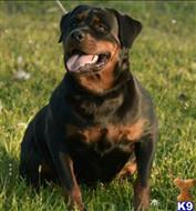 rottweiler puppy posted by fgrims