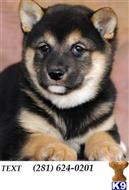 shiba inu puppy posted by fkjsdxkif