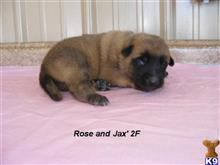 belgian malinois puppy posted by fourbardkennels