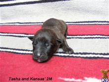 dutch shepherd puppy posted by fourbardkennels