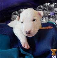 bull terrier puppy posted by fran123
