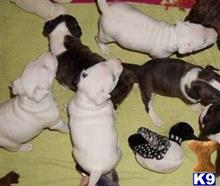 miniature bull terrier puppy posted by fran123