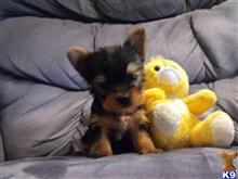Yorkshire Terrier Puppies for sale in New York