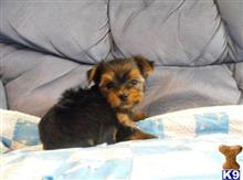 Yorkie Puppies For Sale Staten Island