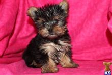 yorkshire terrier puppy posted by franciousroberto