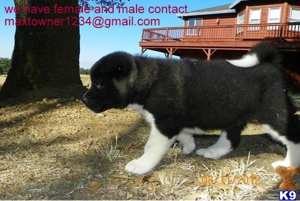 akita puppy posted by francis1234