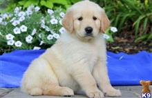 golden retriever puppy posted by frankie2000