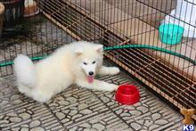 samoyed puppy posted by fridam