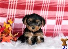 yorkshire terrier puppy posted by fritzj143