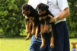 rottweiler puppy posted by fsalman