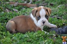 boxer puppy posted by gabriellamaria