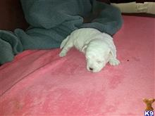 bichon frise puppy posted by galebichon