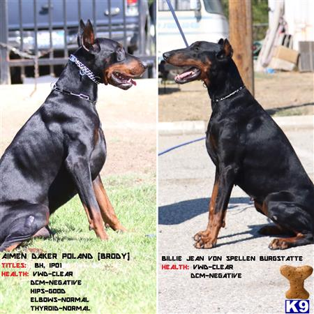 Doberman Pinscher Puppy For Sale Working European Doberman