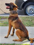 belgian malinois puppy posted by gantoine1