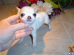 chihuahua puppy posted by genezioclementjunior