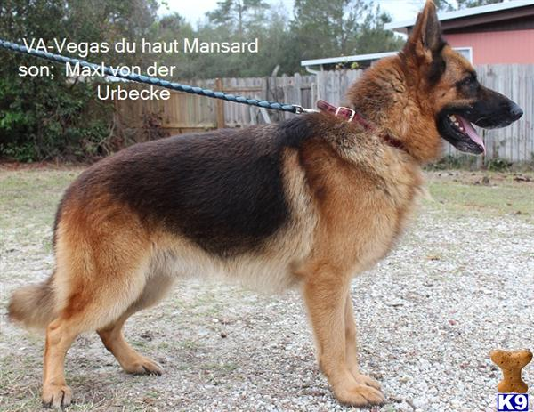Red and black german shepherd dog - photo#21