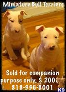 bull terrier puppy posted by getyouryorkie