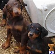doberman pinscher puppy posted by getyouryorkie