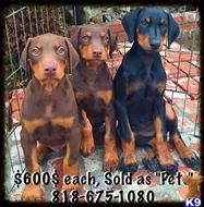 Doberman puppy for sale in los angeles