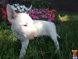 miniature bull terrier puppy posted by getyouryorkie