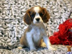 cavalier king charles spaniel puppy posted by gfp4ever