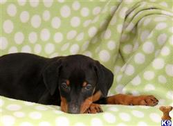 doberman pinscher puppy posted by gfp4ever