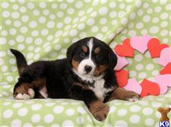 bernese mountain dog puppy posted by gfpdogs