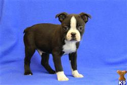 boston terrier puppy posted by gfpdogs