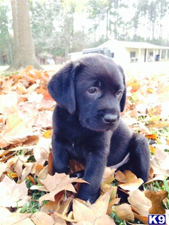 labrador retriever puppy posted by ggrahn