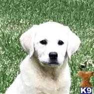 ... San Antonio, Texas · Godfrey Labrador Retriever Baby - Adoption, Rescue
