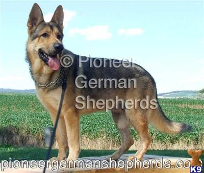 GiantGSDs Picture 1