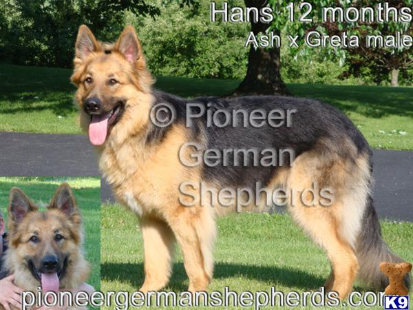 GiantGSDs Picture 3
