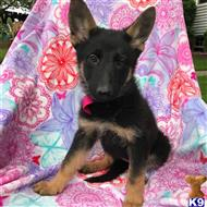 german shepherd puppy posted by gina888