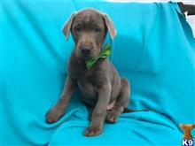 labrador retriever puppy posted by gina888