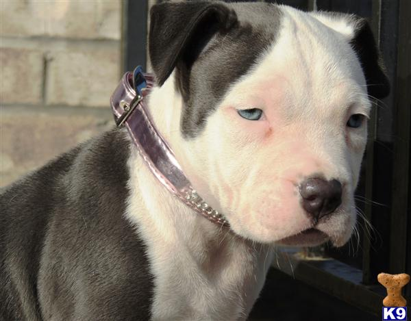 ... WHITE BLUE COLORED WITH ICE BLUE EYES / BLUE NOSE PIT BULL PUPPIES FOR
